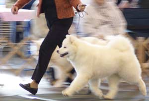 Moonlighter's Samoyeds